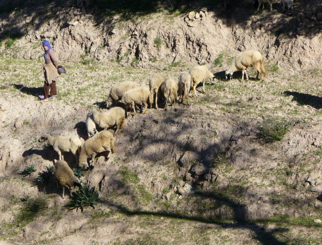A Berber woman with a herd of sheep | Morocco