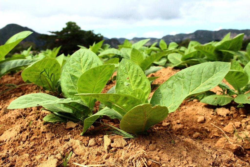 Visiting a tobacco farm in Cuba