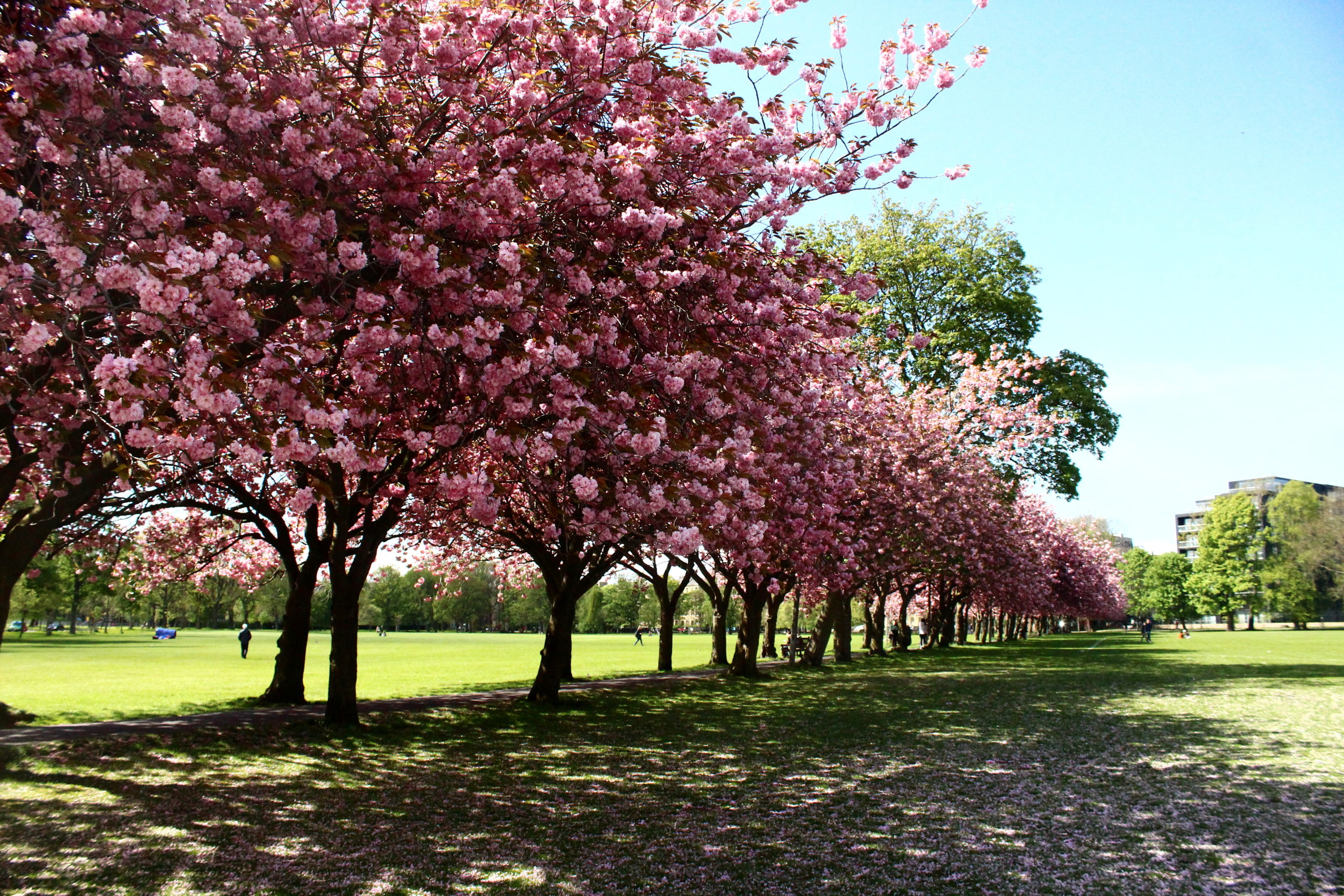 Cherry Blossom in the Meadows, Edinburgh