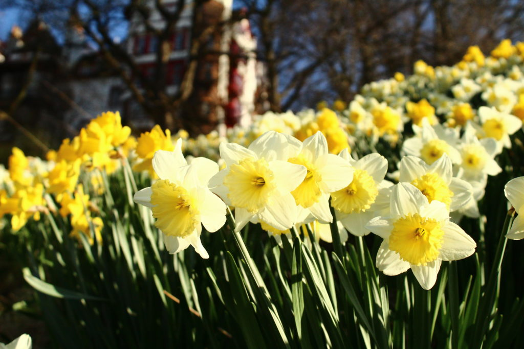 Daffodils on Castle Hill | Things to do in Edinburgh in spring
